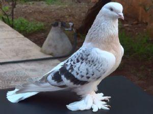 Güvercin Fiyatları Tavan Yaptı