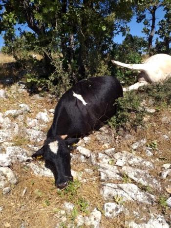 Yıldırım düştü: 2 hayvan telef oldu