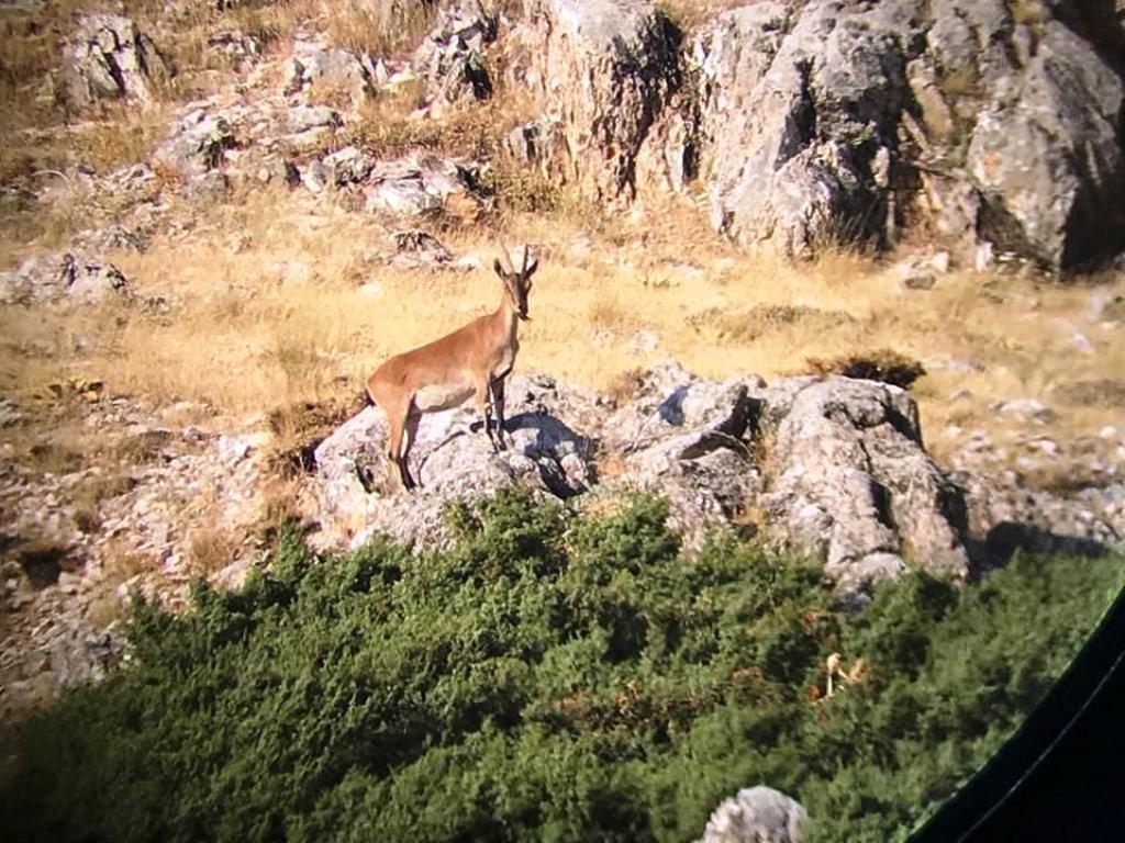 Adıyaman'da Dağ keçileri fotokapana takıldı