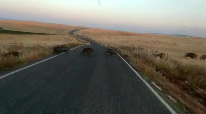 Adıyaman´da onlarca yaban domuzu görüntülendi
