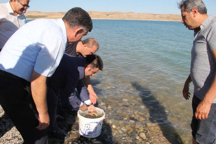 Atatürk Barajına şabut balığı bırakıldı