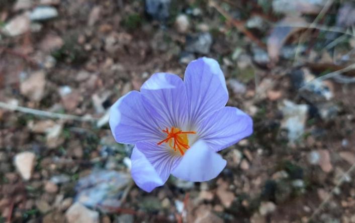 Baharın müjdecisi çiğdem çiçekleri doğayı süsledi
