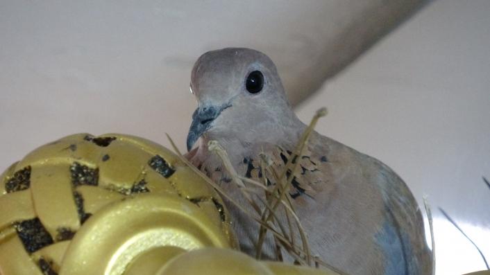 Güvercin dükkandaki ürün rafına yumurtladı
