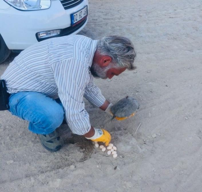 Kaplumbağa yol ortasına yumurtladı
