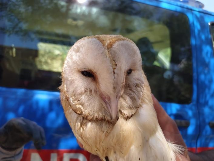 Adıyaman'da Peçeli baykuş elektrik direğine takıldı
