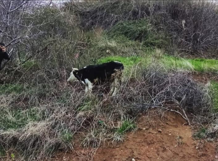Uçurumun kenarında mahsur kalan inek kurtarıldı
